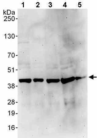 Western blot - Anti-PSMD7/Mov34 antibody (ab140428)