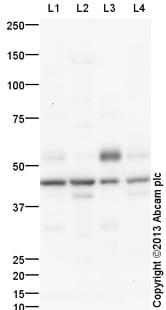 Western blot - Anti-CEBP Alpha/CEBPA antibody (ab140479)