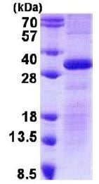 SDS-PAGE - Recombinant Human delta Sarcoglycan protein (denatured) (ab140566)