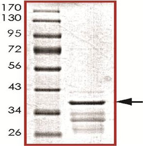 SDS-PAGE - Recombinant Human UCH37 protein (ab140572)