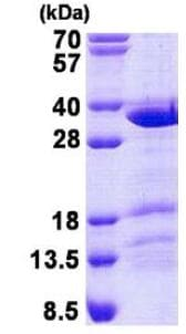 SDS-PAGE - Recombinant Human CCDC43 protein (ab140574)