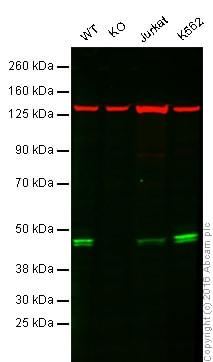 Western blot - Anti-TIA1 antibody [EPR9304] (ab140595)