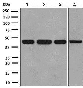 Western blot - Anti-NFE2 antibody [EPR2824(2)] (ab140598)