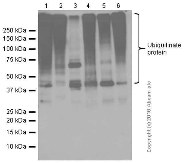 Western blot - Anti-Ubiquitin (linkage-specific K48) antibody [EP8589] (ab140601)