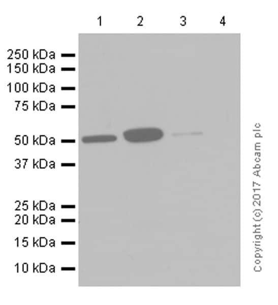 Western blot - Anti-MiTF antibody [EPR9731] (ab140606)