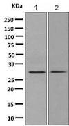 Western blot - Anti-Syntaxin 6 antibody [EP7665] - Golgi Membrane Marker (ab140607)