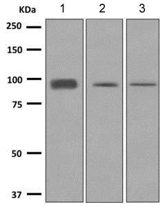 Western blot - Anti-RanBP9 antibody [EPR9920(B)] (ab140627)