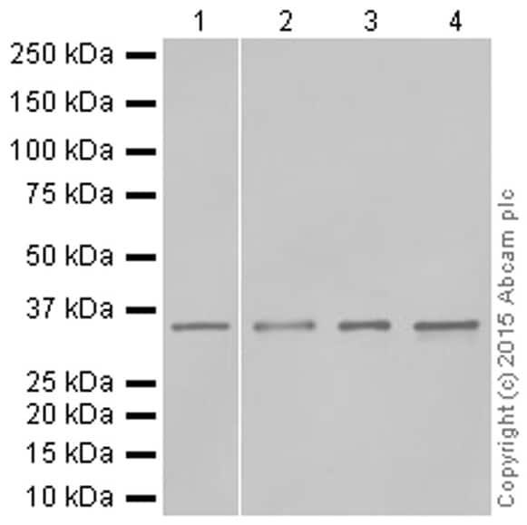 Western blot - Anti-HOXA9 antibody [EPR3655(2)] (ab140631)