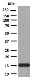 Western blot - Anti-PLGF antibody [EPR2802(2)] (ab140639)