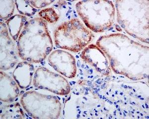 Immunohistochemistry (Formalin/PFA-fixed paraffin-embedded sections) - Anti-SEC62 antibody [EPR9213] (ab140644)