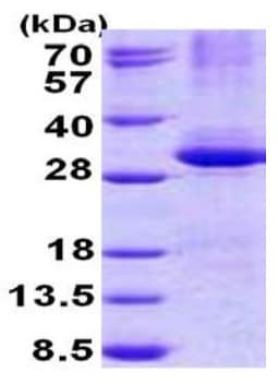 SDS-PAGE - Recombinant Human CPSF30/NAR protein (denatured) (ab140737)