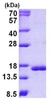 SDS-PAGE - Recombinant human Cystatin C protein (ab140738)