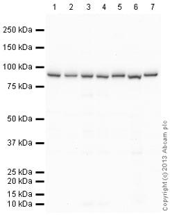 Western blot - Anti-Metabotropic Glutamate Receptor 3/MGLUR3 antibody (ab140741)