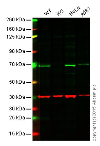 Western blot - Anti-NF-kB p65 antibody (ab140751)