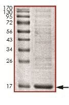 SDS-PAGE - Recombinant Human Ube2L6 protein (ab140809)