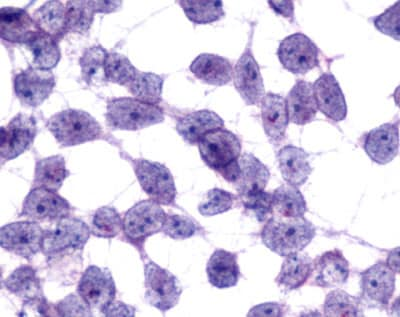 Immunocytochemistry/ Immunofluorescence - Anti-GPCR MCH2 antibody - C-terminal (ab140887)