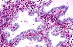 Immunohistochemistry (Formalin/PFA-fixed paraffin-embedded sections) - Anti-RXFP1 antibody (ab140903)