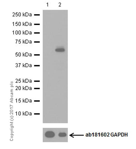 Western blot - MG-132, proteasome inhibitor (ab141003)