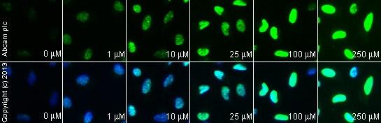 Functional Studies - CPT 11 (Irinotecan), DNA topoisomerase I inhibitor (ab141107)