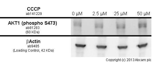 Functional Studies - CCCP, Mitochondrial oxidative phosphorylation uncoupler (ab141229)
