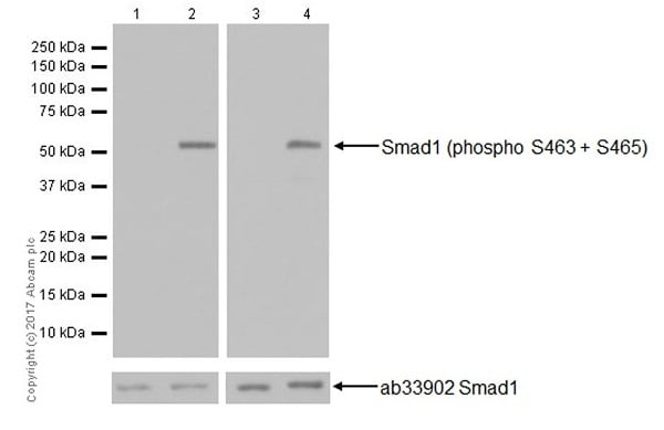 Western blot - Calyculin A, protein phosphatase inhibitor (ab141784)