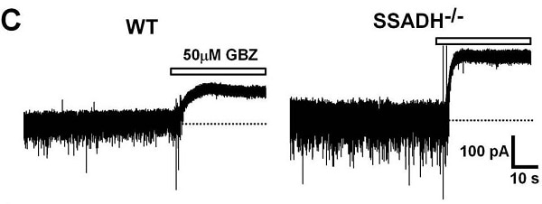 Functional Studies - SR95531 (Gabazine) (mM/ml), GABA<sub>A</sub> antagonist (ab144487)