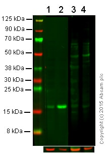 Western blot - Anti-Histone H2A (phospho S129) antibody (ab15083)
