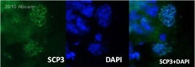Immunohistochemistry (Frozen sections) - Anti-SCP3 antibody (ab15093)