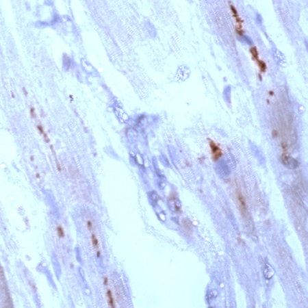 Immunohistochemistry (Formalin/PFA-fixed paraffin-embedded sections) - Anti-Connexin 43 / GJA1 antibody, prediluted (ab15190)