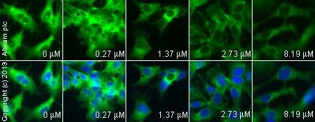 Immunocytochemistry/ Immunofluorescence - Anti-COX2 / Cyclooxygenase 2 antibody (ab15191)