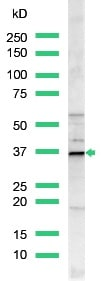 Western blot - Anti-Cyclin D1 antibody, prediluted (ab15196)