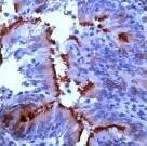 Immunohistochemistry (Formalin/PFA-fixed paraffin-embedded sections) - Anti-alpha Tubulin antibody, prediluted (ab15247)