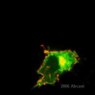 Immunocytochemistry/ Immunofluorescence - Anti-Amyloid Precursor Protein antibody, prediluted (ab15273)