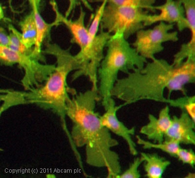 Immunocytochemistry/ Immunofluorescence - Anti-Glucose Transporter GLUT1 antibody (ab15309)