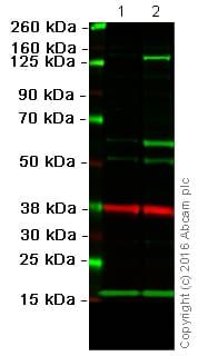 Western blot - Anti-iNOS antibody (ab15323)