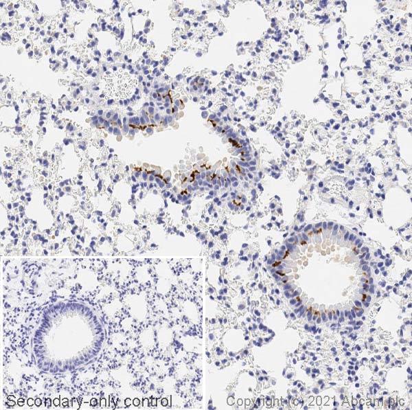 Immunohistochemistry (Formalin/PFA-fixed paraffin-embedded sections) - Anti-iNOS antibody (ab15323)