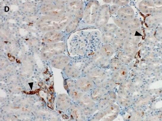 Immunohistochemistry (Formalin/PFA-fixed paraffin-embedded sections) - Anti-ACE2 antibody (ab15348)