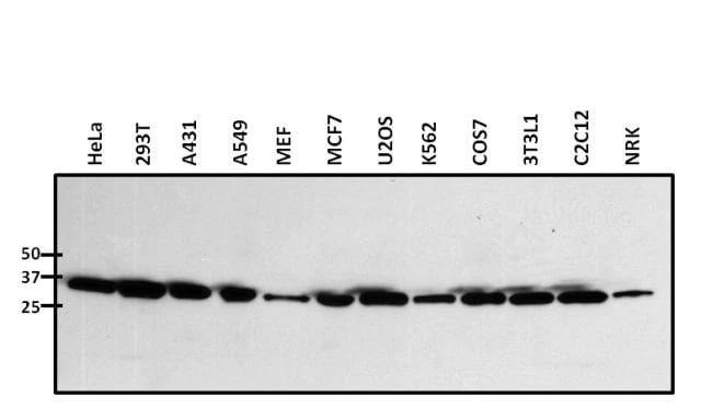 Western blot - Anti-Nucleophosmin antibody (ab15440)