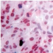 Immunohistochemistry (Formalin/PFA-fixed paraffin-embedded sections) - Anti-RXRG antibody (ab15518)