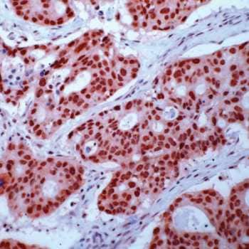 Immunohistochemistry (Formalin/PFA-fixed paraffin-embedded sections) - Anti-Retinoid X Receptor gamma antibody, prediluted (ab15519)