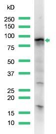 Western blot - Anti-STAT5a antibody, prediluted (ab15525)