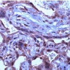 Immunohistochemistry (Formalin/PFA-fixed paraffin-embedded sections) - Anti-TGF beta 3 antibody (ab15537)