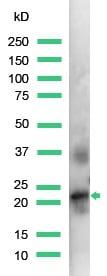 Western blot - Anti-Placental lactogen antibody (ab15554)