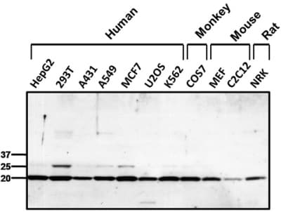 Western blot - Anti-Peroxiredoxin 1/PAG antibody (ab15571)