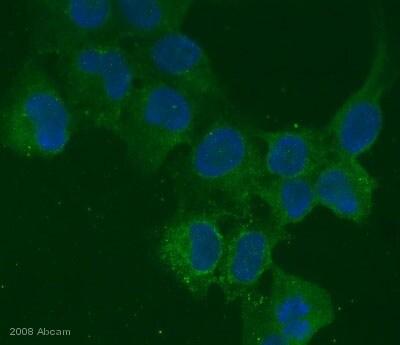 Immunocytochemistry/ Immunofluorescence - Anti-BMP6 antibody [morph-6.1] (ab15640)