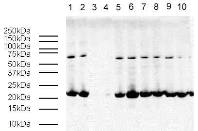 Western blot - Human Histone H3 (tri methyl K9, phospho S10) peptide (ab15644)