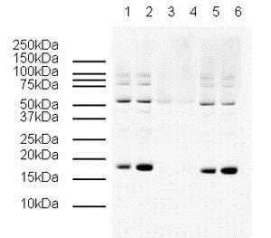 Western blot - Human gamma H2A.X (phospho S139) peptide (ab15645)