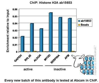 ChIP - Anti-Histone H2A antibody - ChIP Grade (ab15653)