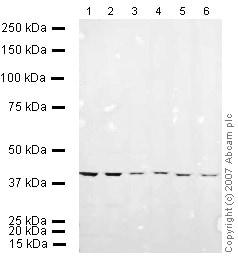 Western blot - Anti-alpha smooth muscle Actin antibody (ab15734)