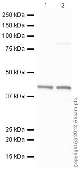 Western blot - HeLa nuclear extract lysate (ab150036)